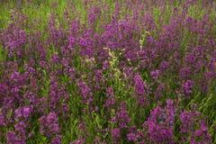 Prato con i bei fiori selvaggi nell'estate Fotografia Stock