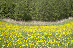 Prato con i fiori Fotografia Stock