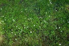 Prato con i fiori Fotografie Stock