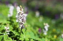 Prato con i fiori del Corydalis dei colori differenti Immagine Stock
