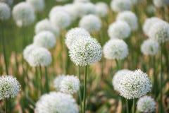Prato con i fiori di allium bianco Immagini Stock