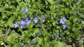 Prato con i fiori porpora della molla della vinca video d archivio