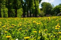 Prato con i wildflowers - campo della primavera dei denti di leone Fotografia Stock