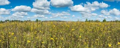 Prato con il paesaggio panoramico dei wildflowers gialli Fotografia Stock