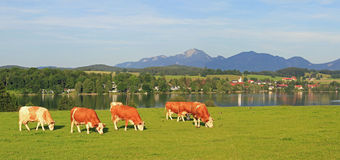 Prato con il pascolo delle mucche, riegsee idilliaco di paesaggio, Baviera Fotografie Stock Libere da Diritti