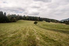 Prato con l'albero, la via, le pecore e la foresta sui precedenti in montagne di Beskids Fotografia Stock Libera da Diritti