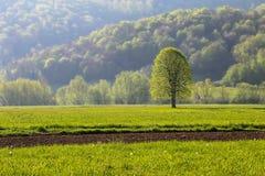 Prato con l'albero verde in Slovenia Fotografie Stock Libere da Diritti