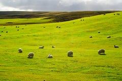 Prato con la moltitudine di pecore Fotografia Stock