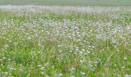 Prato con le margherite belle di fioritura di estate Immagini Stock