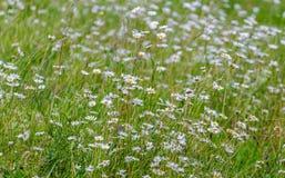 Prato con le margherite belle di fioritura di estate Immagini Stock Libere da Diritti