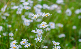 Prato con le margherite belle di fioritura di estate Fotografia Stock Libera da Diritti