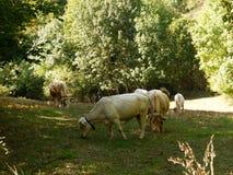 Prato con le mucche immagine stock