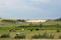 Prato con le mucche Fotografia Stock