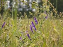 Prato con le vari erbe e fiori Fotografia Stock Libera da Diritti