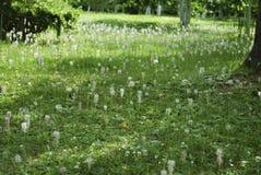 Prato dei fiori bianchi di maggiore del Plantago Fotografie Stock