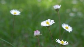 Prato dei fiori selvaggi Margherite ed alto vicino del trifoglio video d archivio