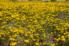 Prato dei fiori sulla costa ovest del Sudafrica Fotografia Stock Libera da Diritti