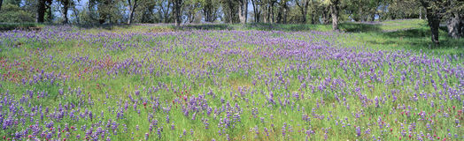 Prato dei fiori viola Immagine Stock