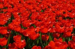 Prato dei tulipani rossi Immagine Stock Libera da Diritti