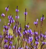 Prato del canariensis del lavandula dei fiori selvaggi Fotografie Stock