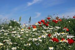 Prato del fiore dei papaveri e della camomilla Fotografia Stock