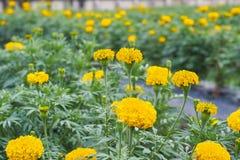 Prato del giacimento di fiore del tagete Fotografie Stock