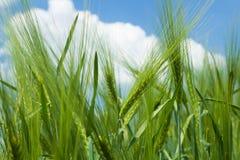 Prato del grano sotto il cielo soleggiato Fotografie Stock Libere da Diritti