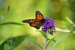 Prato del monarca Immagini Stock