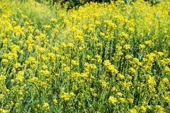 Prato del raccolto del canola del dettaglio del fiore della pianta oleifera di giallo del fiore del seme di ravizzone del campo Fotografie Stock Libere da Diritti