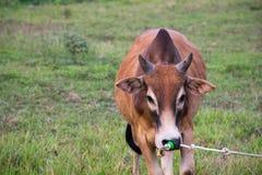 Prato del toro Fotografia Stock