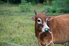 Prato del toro Immagine Stock