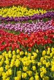 Prato del tulipano Immagini Stock Libere da Diritti
