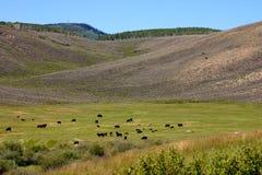 Prato dell'alta montagna in pieno delle mucche Immagine Stock