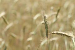 Prato dell'erba di prateria o fondo alto del campo Immagine Stock