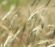 Prato dell'erba di prateria o primo piano alto del campo Fotografia Stock