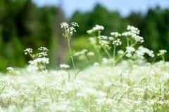 prato della campagna di metà dell'estate con i fiori Immagini Stock Libere da Diritti