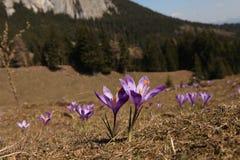 Prato della montagna del croco Fotografia Stock Libera da Diritti