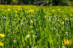 Prato della primavera con i wildflowers Immagini Stock