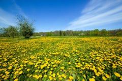 Prato della primavera in pieno dei fiori dei denti di leone e dell'erba verde Fotografia Stock