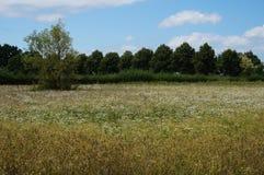 Prato della riserva naturale con i fiori bianchi e gli alberi Fotografia Stock