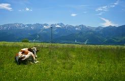 Prato delle montagne e della mucca Immagine Stock