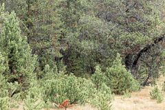 Prato di autunno nelle alpi con i pini montani nani Fotografia Stock