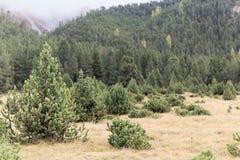 Prato di autunno nelle alpi con i pini montani nani Immagini Stock