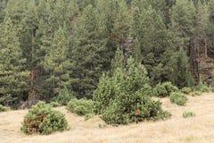 Prato di autunno nelle alpi con i pini montani nani Immagine Stock
