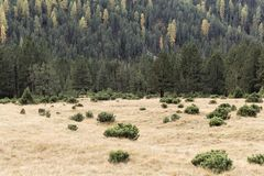Prato di autunno nelle alpi con i pini montani nani Immagine Stock Libera da Diritti