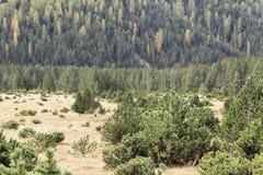 Prato di autunno nelle alpi con i pini montani nani Fotografia Stock Libera da Diritti