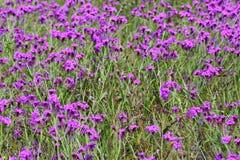 Prato di erbe porpora fotografia stock