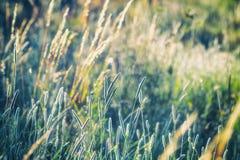 Prato di estate, campo di erba alla luce solare calda, concetto del fondo della natura, fuoco molle, toni pastelli caldi Fotografia Stock