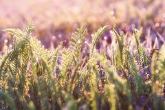 Prato di estate, campo di erba con luce solare variopinta, concetto del fondo della natura, fuoco molle, toni pastelli caldi Immagini Stock
