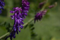 prato di estate con i bei fiori porpora Fotografia Stock